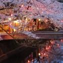 木屋町通りの夜桜 その15