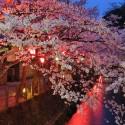 木屋町通りの夜桜 その12