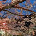 大谿川上流の桜並木 その3